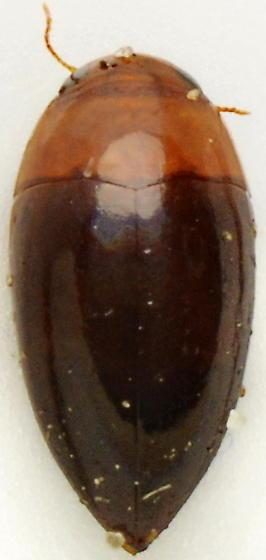 1011C04 - Hydrocanthus atripennis