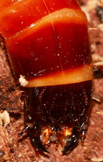 Larva - Alaus oculatus