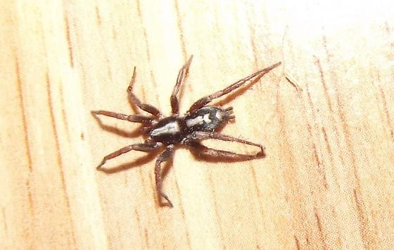 how to get rid of parson spider