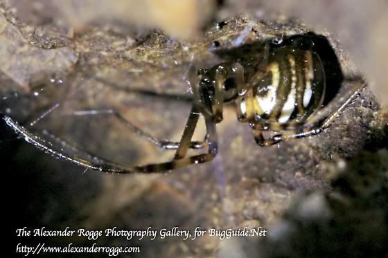 Black Widow juvenile 081016 - Latrodectus mactans