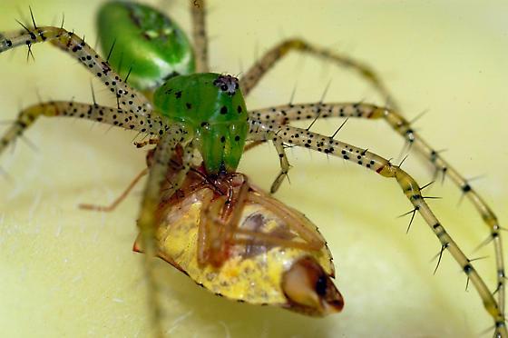 green lynx spider? - Peucetia viridans - female
