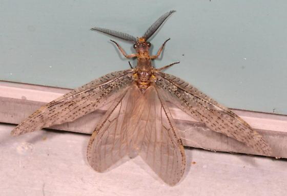 Fishfly  - Chauliodes pectinicornis