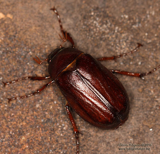 Unknown - Phyllophaga