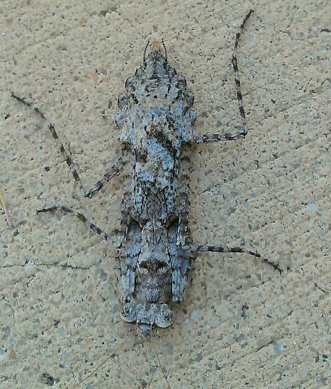 What is this thing??  Was about 3 inches long. - Gonatista grisea - female