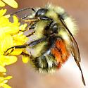 orange-banded montane bumblebee - Bombus