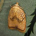 Brown Moth - Acleris forsskaleana
