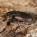 Unknown Beetle - Agonum cupreum
