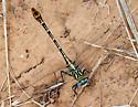 unidentified Gomphidae - Dromogomphus spoliatus - female