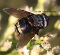 Tachnid Fly - Belvosia
