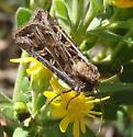 unknown cutworm moth - Euxoa niveilinea