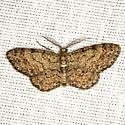 Texas Gray Moth - Hodges #6443 - Glenoides texanaria - male