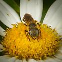 Genus Halictus - Furrow Bees, ID Please - Halictus poeyi