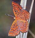 butterfly ID please - Calephelis virginiensis