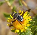 Bee Fly - Exoprosopa eremita
