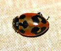 Parenthesis Lady Beetle - Hippodamia parenthesis