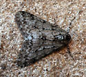 Moth out in the cold - Phigalia strigataria - male