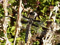 Dragonfly to ID - Libellula forensis