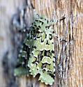 Which Moth - Feralia comstocki