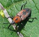 Cocklebur Weevil? - Rhodobaenus quinquepunctatus