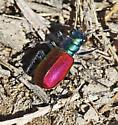 Festive Tiger Beetle_Cicindela scutellaris - Cicindela