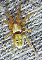 C. gosoga female - Callilepis gosoga - female