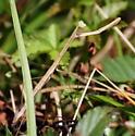 Mantid - Bactromantis mexicana - female