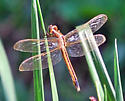 Gold and Maroon Dragonfly - Libellula