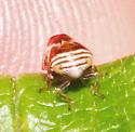 Clastoptera - Clastoptera obtusa