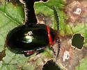 Flea Beetle on Mint - Kuschelina gibbitarsa