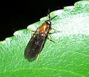 Xylophagid? - Rachicerus fulvicollis - female