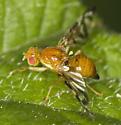 Wing Flitting tephritid - Euleia fratria