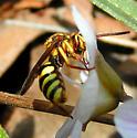 Cuckoo Bee - Nomada luteoloides - female