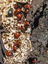 Endomychus biguttatus gathering - Endomychus biguttatus