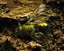 Hibernators haven. Bee - Augochlora pura - female