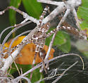 spider - Dolomedes albineus - female