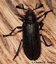 Beetle - Sandalus porosus - male