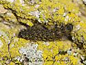 8022817 caterpillar - Hypoprepia