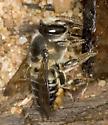Cheat Bridge Bee - Megachile mendica