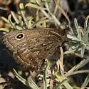 Brown with roundel - Cercyonis oetus