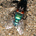 ID for a small green fly? - Lucilia