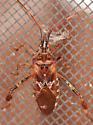 Coreoidea ? - Leptoglossus occidentalis