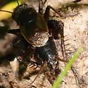 Spiny insect - Allonemobius allardi - male