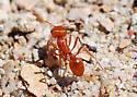CA Harvester - Pogonomyrmex californicus - female