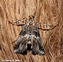 Moth - Toripalpus trabalis