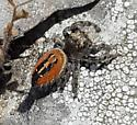 Red and black jumping spider - Phidippus texanus