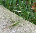 Slender Meadow Katydid - Conocephalus fasciatus - female