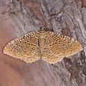 Rheumaptera Species - Rheumaptera