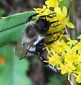 unidentified bee on goldenrod - Bombus impatiens
