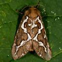 Unknown Moth - Gazoryctra hyperboreus