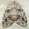Little White Lichen Moth - Hodges#8098 - Clemensia albata